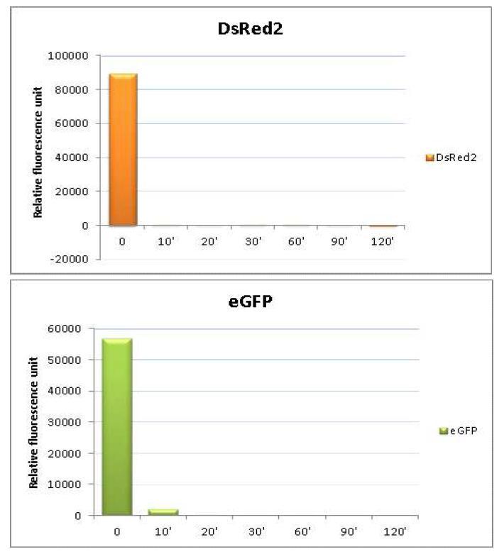 형광광도계를 이용한 DsRed2 및 EGFP 단백질의 열 안정성 시험 분석