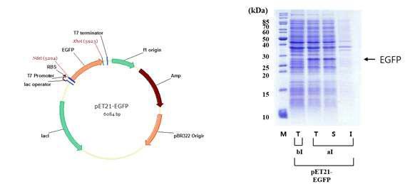 EGFP 단백질 발현을 위한 벡터(좌)와 단백질 발현 확인(우).