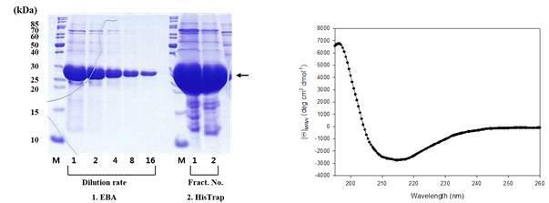 EGFP 단백질 정제(좌)와 단백질 이차구조 확인을 위한 CD spectrum 결과(우).