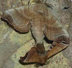멧누에나방 교미