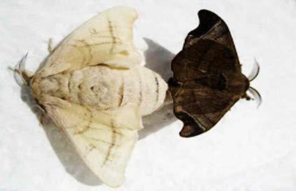 집누에나방 (♀)과 멧누에나방 (♂)의 교미 상태