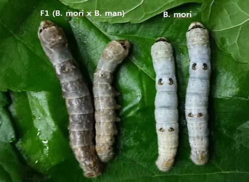 멧누에나방과 집누에나방과의 종간잡종