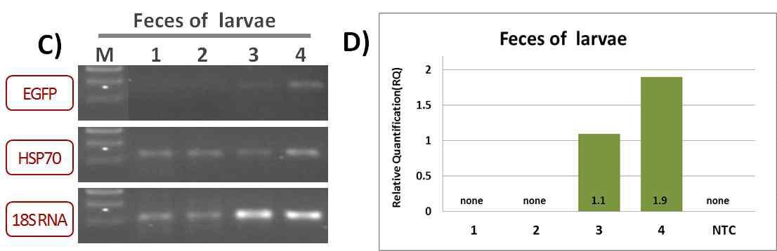 EGFP유전자 발현 평가실험 (잠분)
