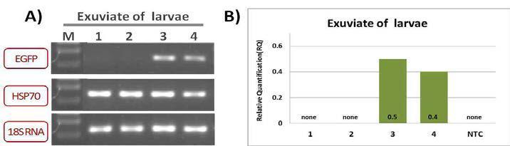 EGFP유전자 발현 평가실험 (탈피각)