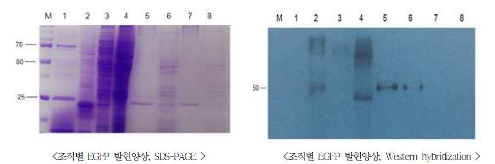 표준품 GM누에의 조직별 EGFP 발현 특성 분석.