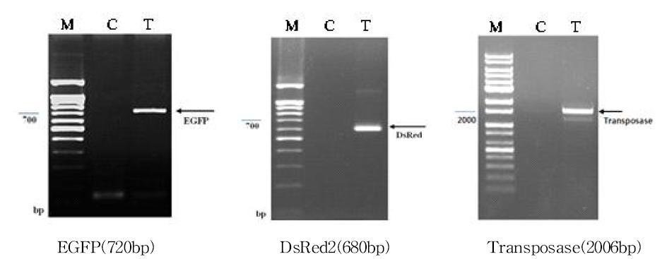 형광실크 생산 표준품 GM 누에 도입 이형단백질 발현 유전자(EGFP, DsRed2, Transferase) PCR 분석