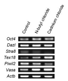 RT-PCR analysis for male germline stem cells of specific marker genes (Oct4, Dazl, Stra8, Tex18, P iwil2, Vasa) expression in chemical treated male germline stem cells and non-treated male germline stem cells.