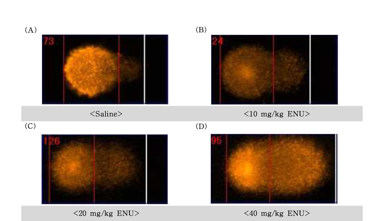 N -Ethyl-N -Nitrosourea(ENU)에 대한 정자의 comet image