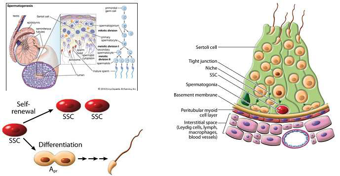 수컷 생식줄기세포(GSC)의 특성