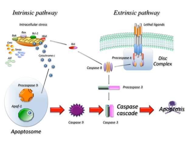 세포사멸의 주요 과정