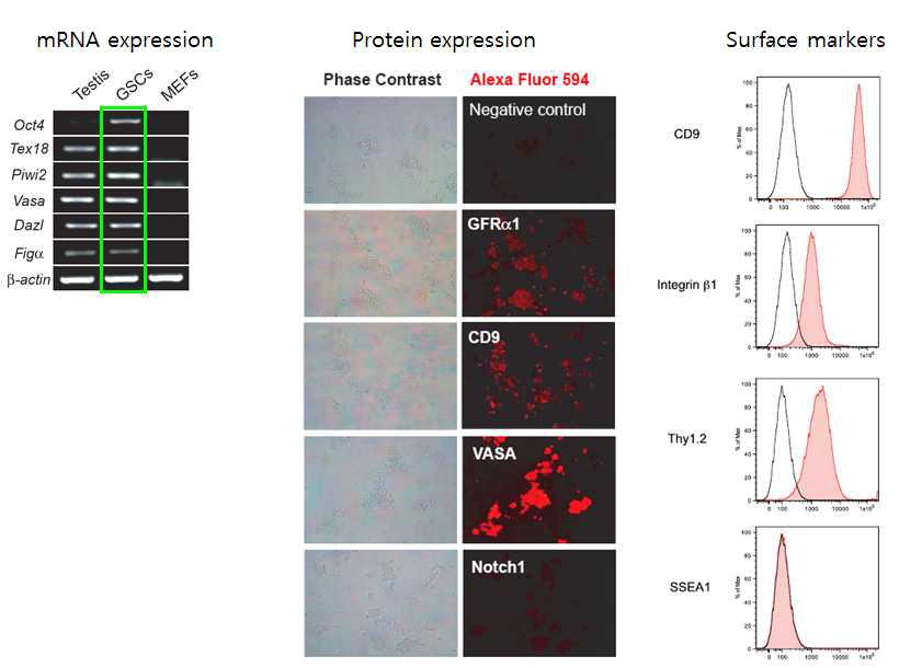 생식줄기세포의 유전자 발현