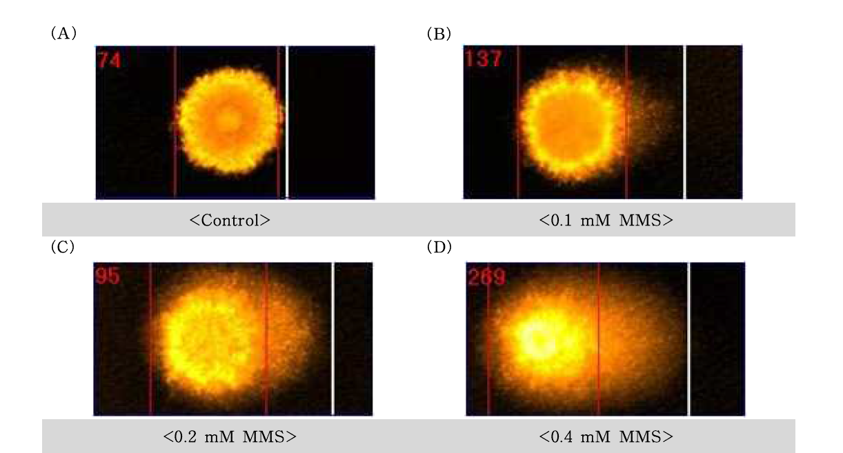 Methyl methanesulfonate(MMS)에 대한 수컷 생식줄기세포의 comet image