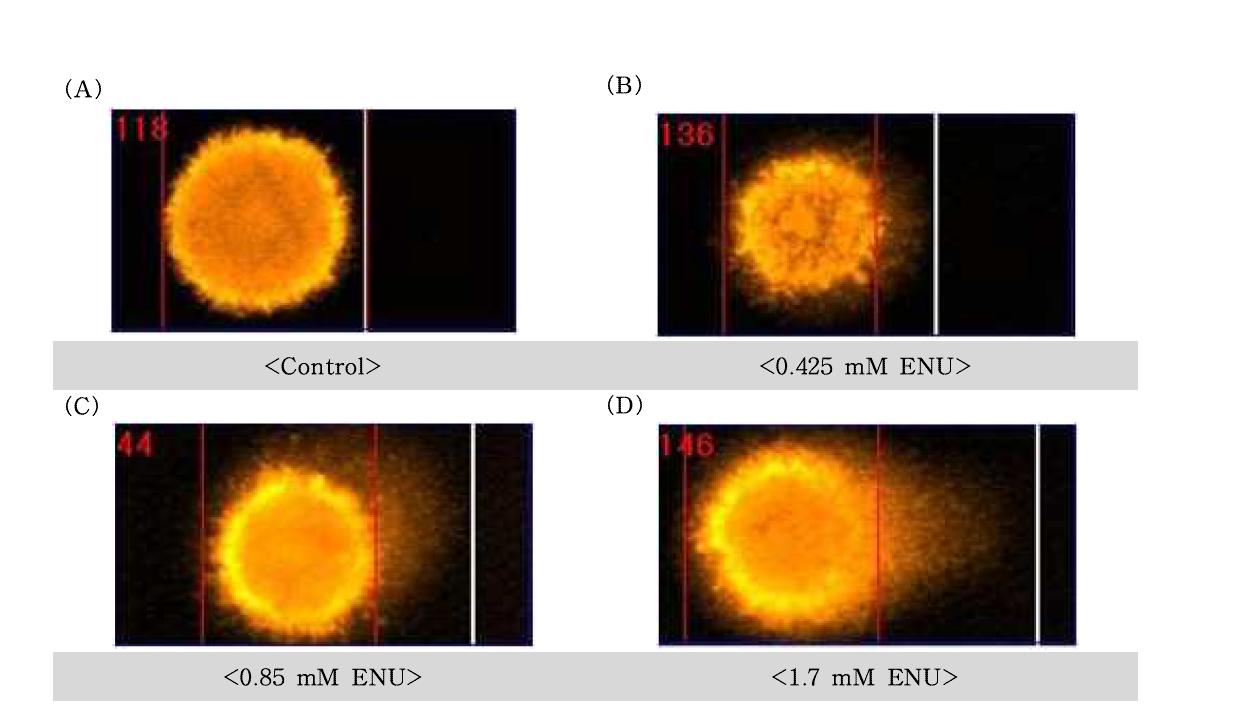 N -Ethyl-N -Nitrosourea(ENU)에 대한 수컷 생식줄기세포의 comet image