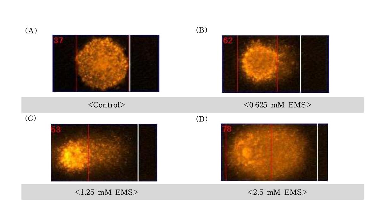 Ethyl methanesulfonate(EMS)에 대한 수컷 생식줄기세포의 comet image