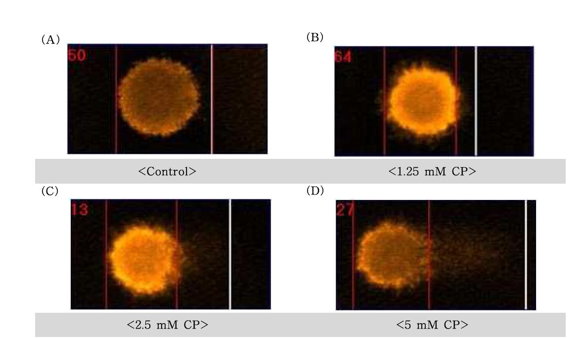 Cyclophospahmide(CP)에 대한 수컷 생식줄기세포의 comet image