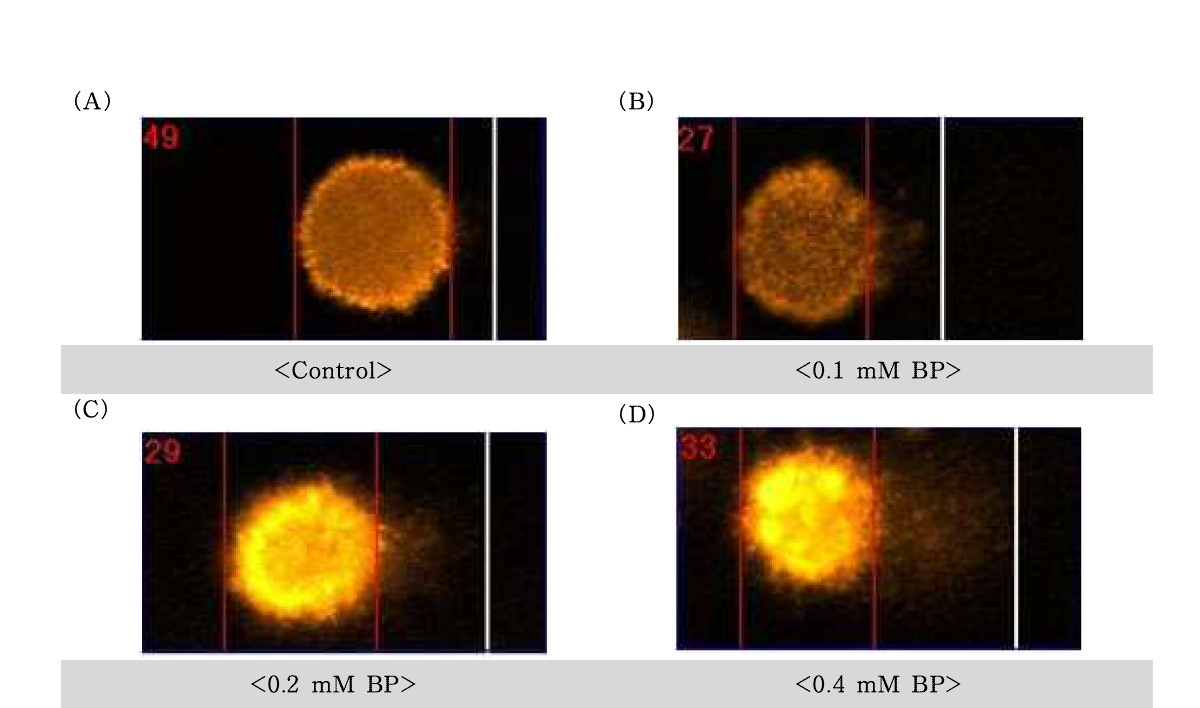 Benzo〔α〕pyrene(BP)에 대한 수컷 생식줄기세포의 comet image