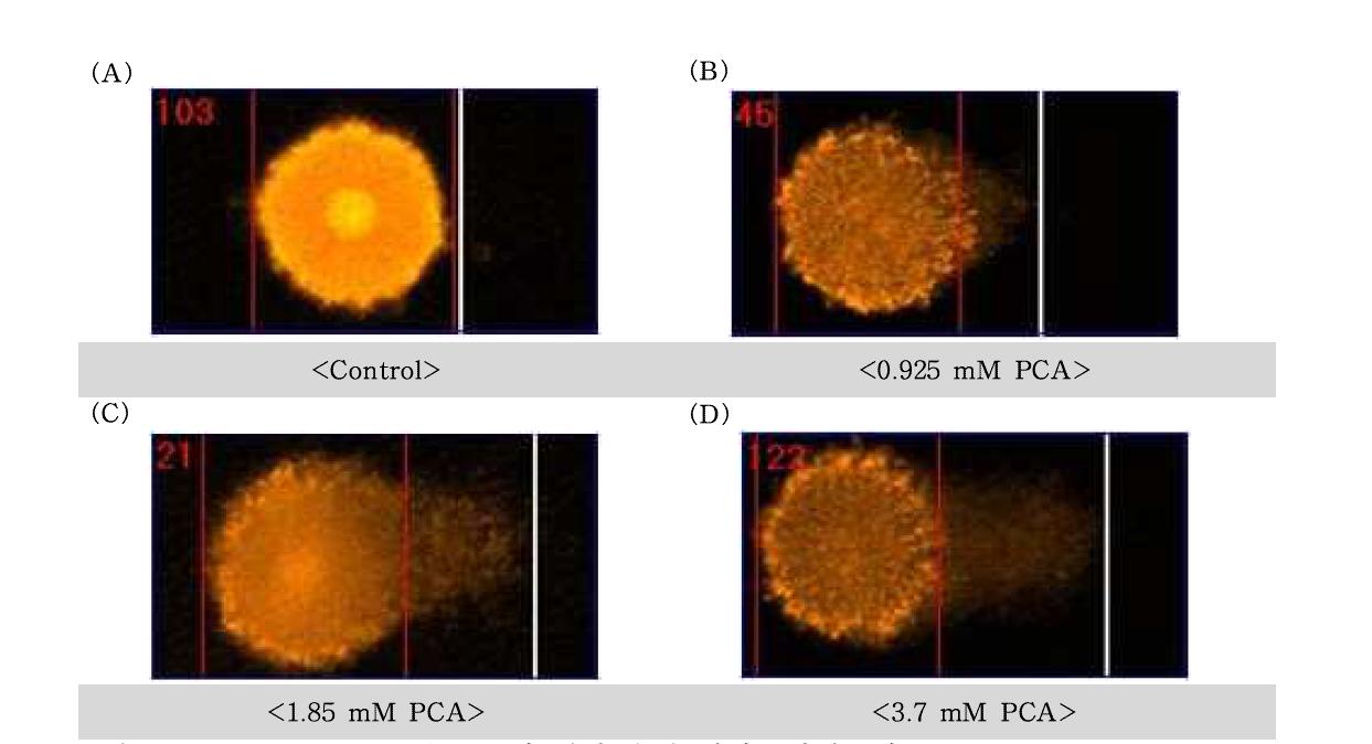 ?-chloroaniline(PCA)에 대한 수컷 생식줄기세포의 comet image