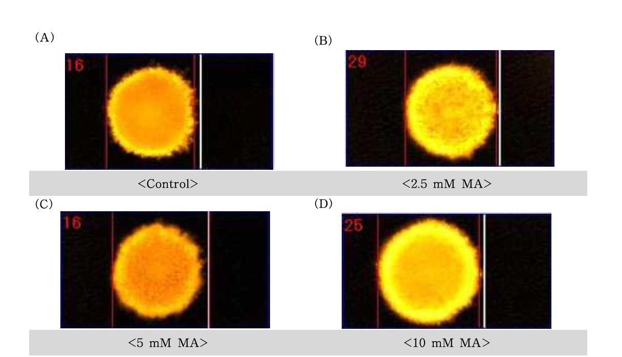 D-mannitol(MA)에 대한 수컷 생식줄기세포의 comet image