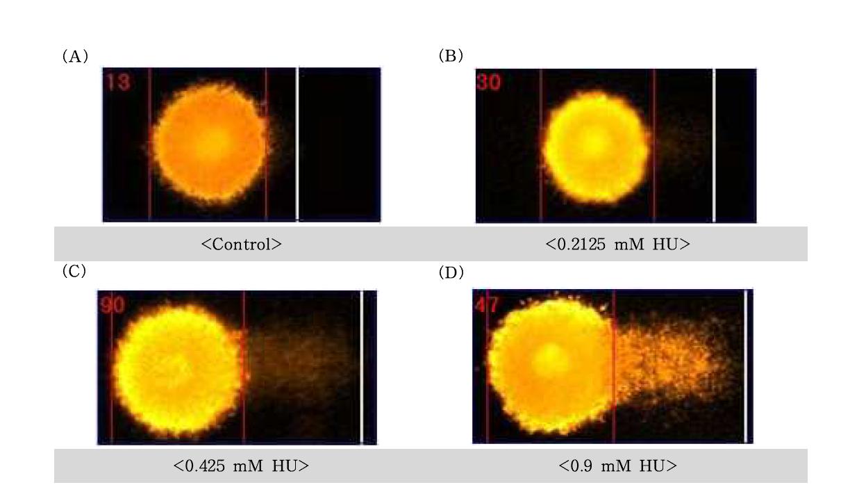 Hydroxyurea(HU)에 대한 수컷 생식줄기세포의 comet image