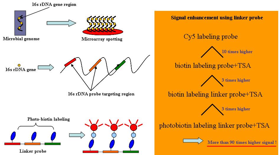 linker probe를 이용한 DNA 칩 signal 증폭의 개념도