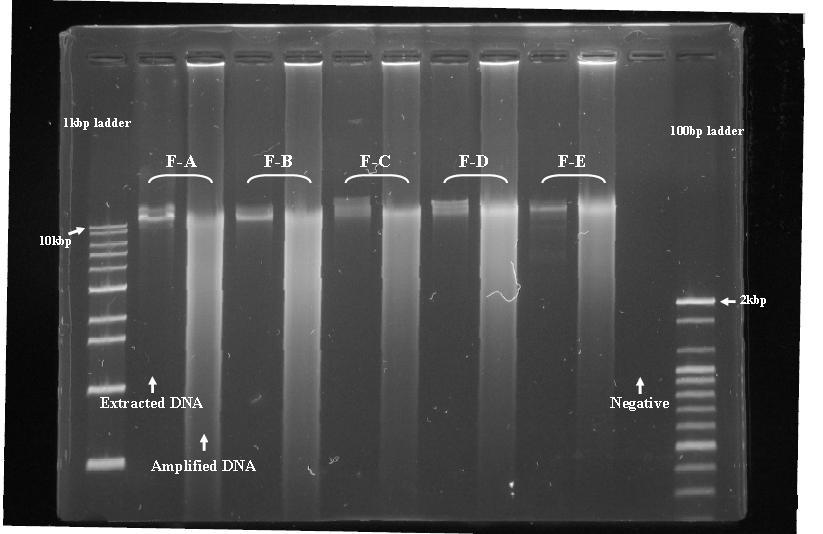 시료별 추출된 vDNA 및 amplified 된 vDNA의 gel electrophoresis.