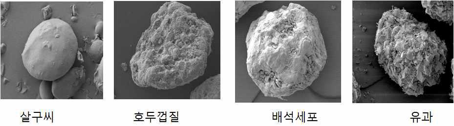 상업용 스크럽제재 및 배석세포, 유과 전자현미경 사진