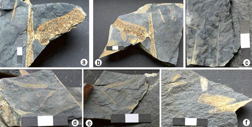 운산면 모평리 일대 운산층에서 산출된 식물화석 사진.