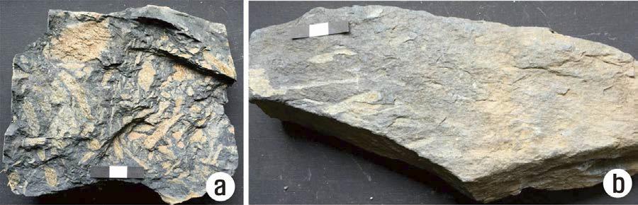 고북면 신송리, 운산층에서 산출된 식물화석 사진