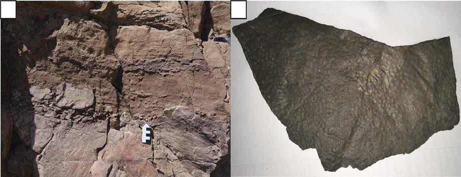 (a) 백색 사암과 돌로스톤과의 경계면: 백색 사암 역이 돌로스톤 하부에 들어있다. (b) 코끼리 피부와 유사한 형태를 보이는 MISS.