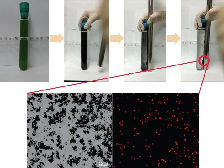 양전하를 띄는 자성 응집제(PVP/Fe nit=0.8)를 활용한 미세조류 응집 과정