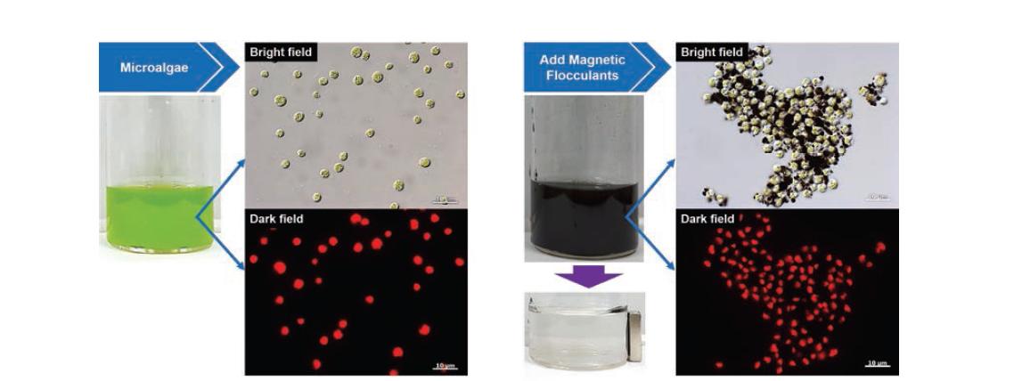 미세조류와 자성응집제로 수확 후 미세조류의 디지털, 광학현미경 사진
