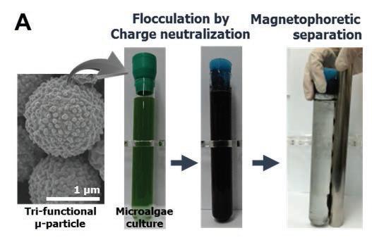 양이온성, 친지방성 Fe3O4/탄소 복합체의 분산기술을 통한 100 ml 모델균주의 회수
