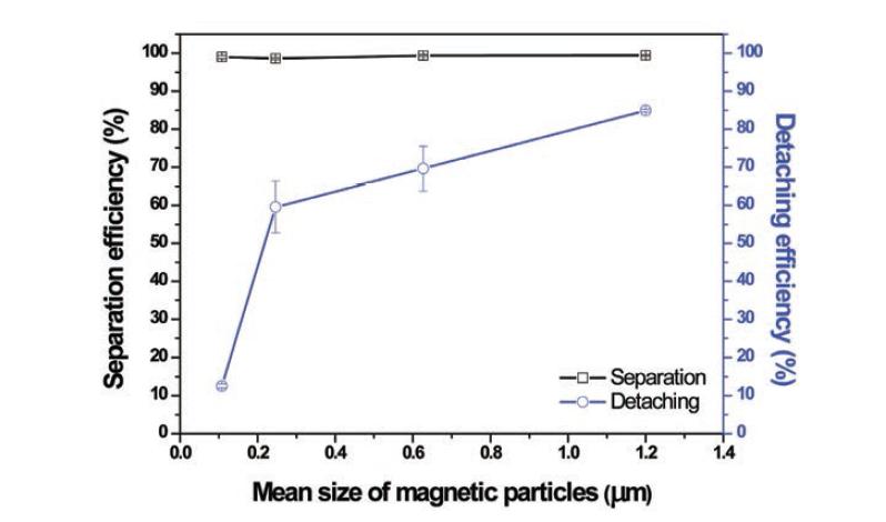 자성미립자의 크기에 따른 모델 균주 회수율과 응집물로부터의 자성 미립자의 탈착 효율