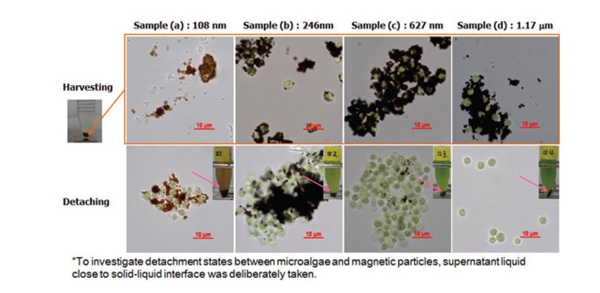 자성 미립자와 모델 균주의 회수 단계와 탈착단계의 광학 현미경 관찰 그림