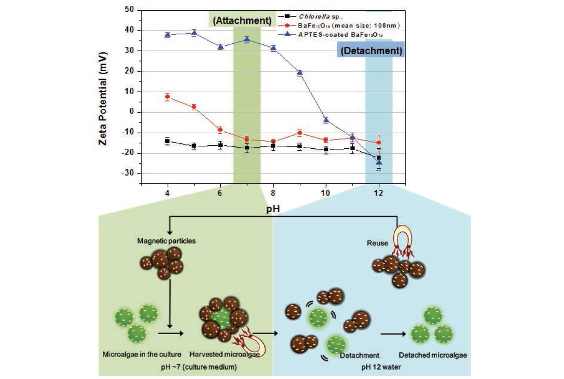 다양한 pH 조건에서의, Chlorella sp., BaFe12O19, APTES-BaFe12O19의 제타포텐과 모델 균주 회수 및 자성 미립자 탈착 메커니즘