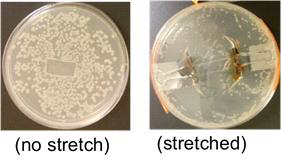 E. coli growth after one day incubation. The gel was modified with CD acrylates.