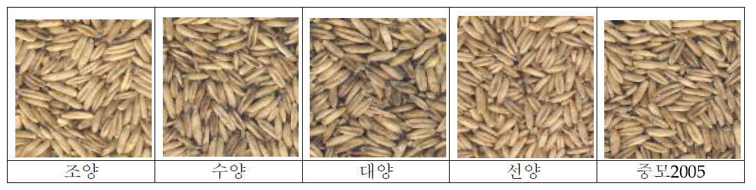 국내 쌀귀리 품종별 외관