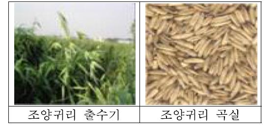 조양귀리 출수기와 곡실