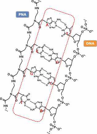 Schematic diagram of binding between PNA and DNA