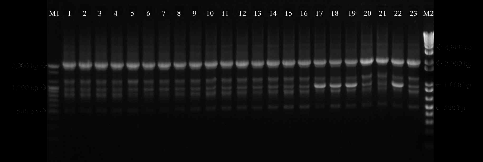 Genotyping of S. iniae by rep-PCR profile