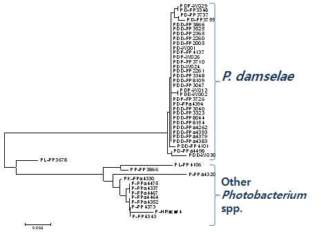 Phylogenetic tree of 16S rDNA of genome sequenced Photobacterium spp