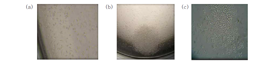 cell for hybridoma production(a) and hybridoma colony (b, c)