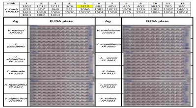 Specificity of antibody against E. tarda