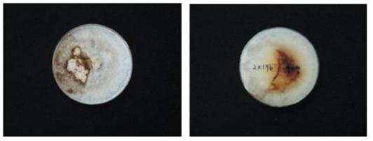 산조713호와 대조균주(참아람)과의 대치배양 사진