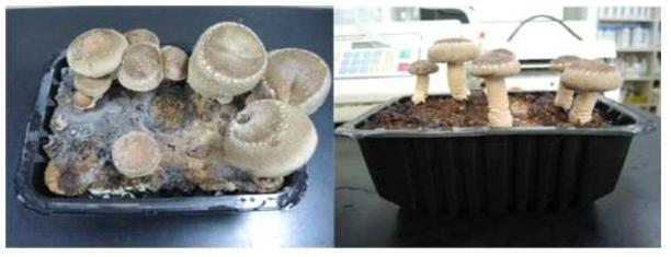 표고재배키트에서 발생된 표고버섯