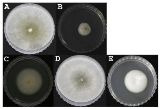 청양과 장흥에서 분리된 진균의 대표적인 모습.