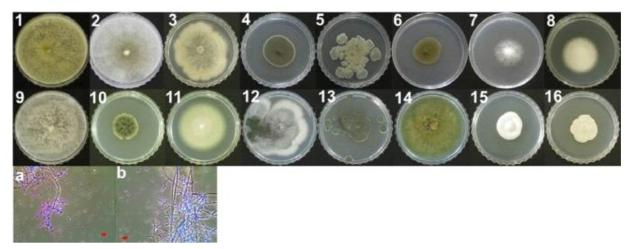 재배사내 공기 중에서 분리된 진균의 형태학적 특징.
