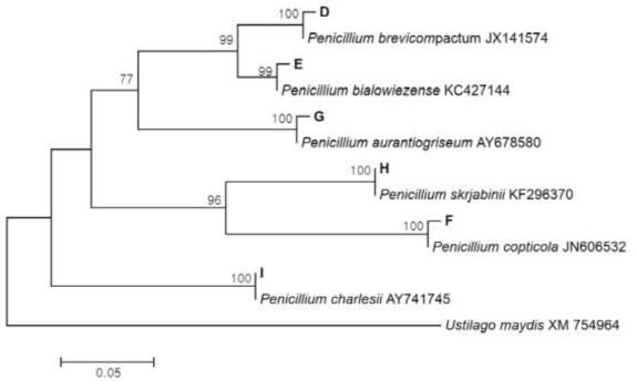 시험재배사 실내공기에서 분리된 Penicillium spp.의 calmodulin sequence를 이용한 phylogenetic tree