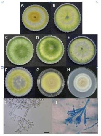 방제 처리된 참나무에서 분리된 Hypocrea spp.(anamorph Trichoderma)와 Penicillium spp.의 콜로니 형태(A - H)와 현미경적 특성(I - J).