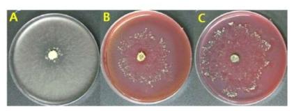 시료에서 분리된 Trichoderma 종의 cellulose 분해효소 검정.